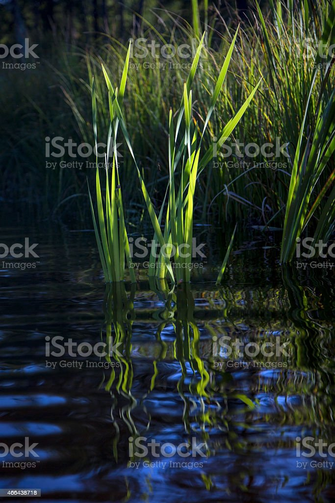 Reeds and reflections stock photo