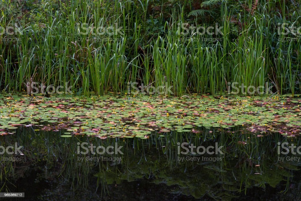 Reeds and water lilies reflected in a river. zbiór zdjęć royalty-free