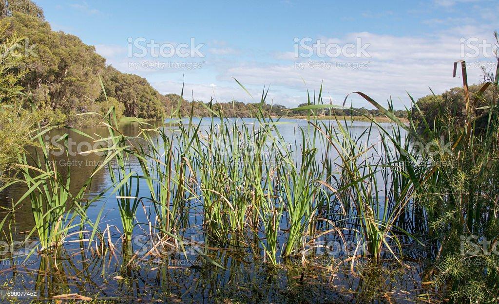 Reeds at Herdsman Lake stock photo