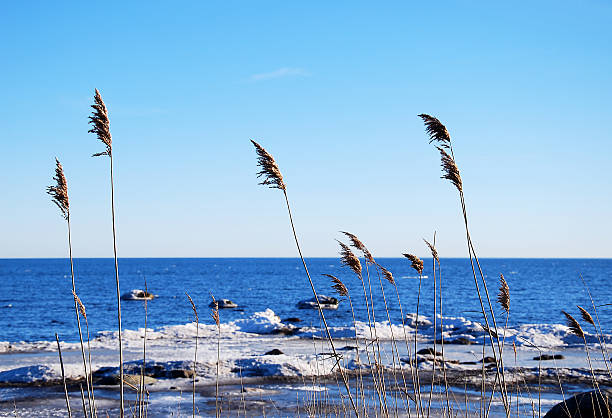 Reeds at icy coast stock photo