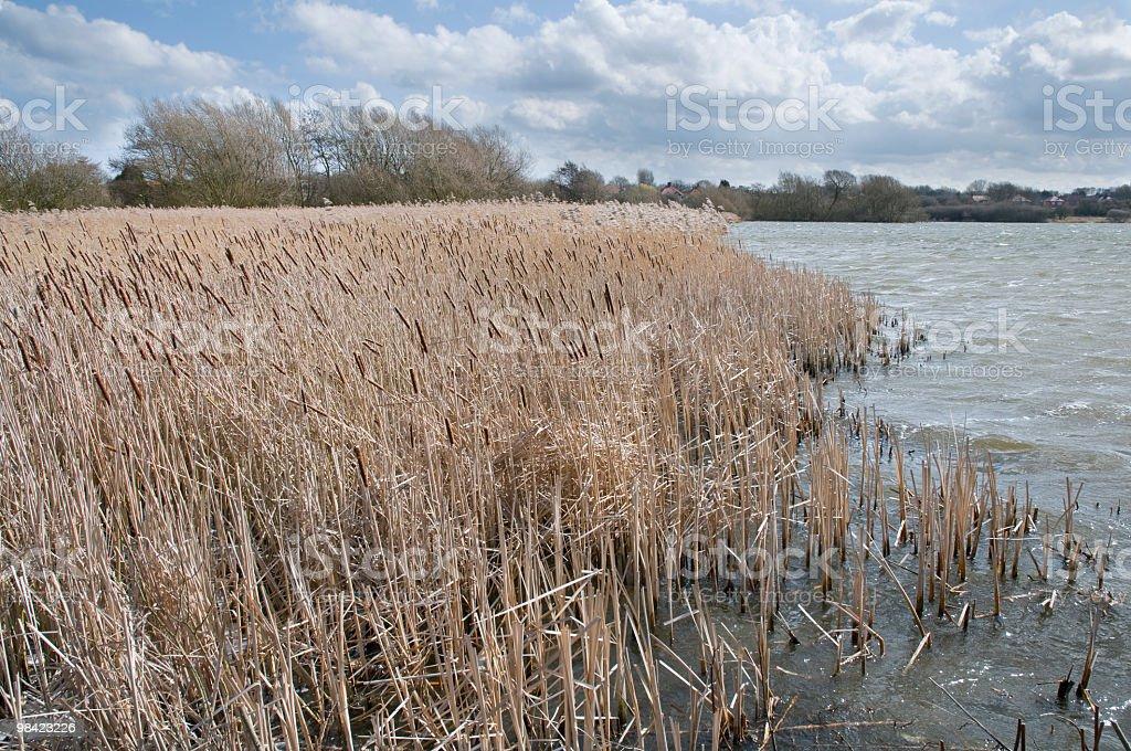 Reeds 측면에 호수 royalty-free 스톡 사진