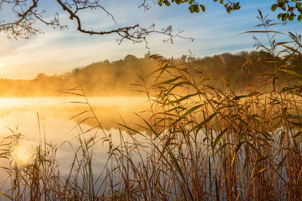reeds at the water's edge and autumn fog on the lake at sunrise - caniço imagens e fotografias de stock