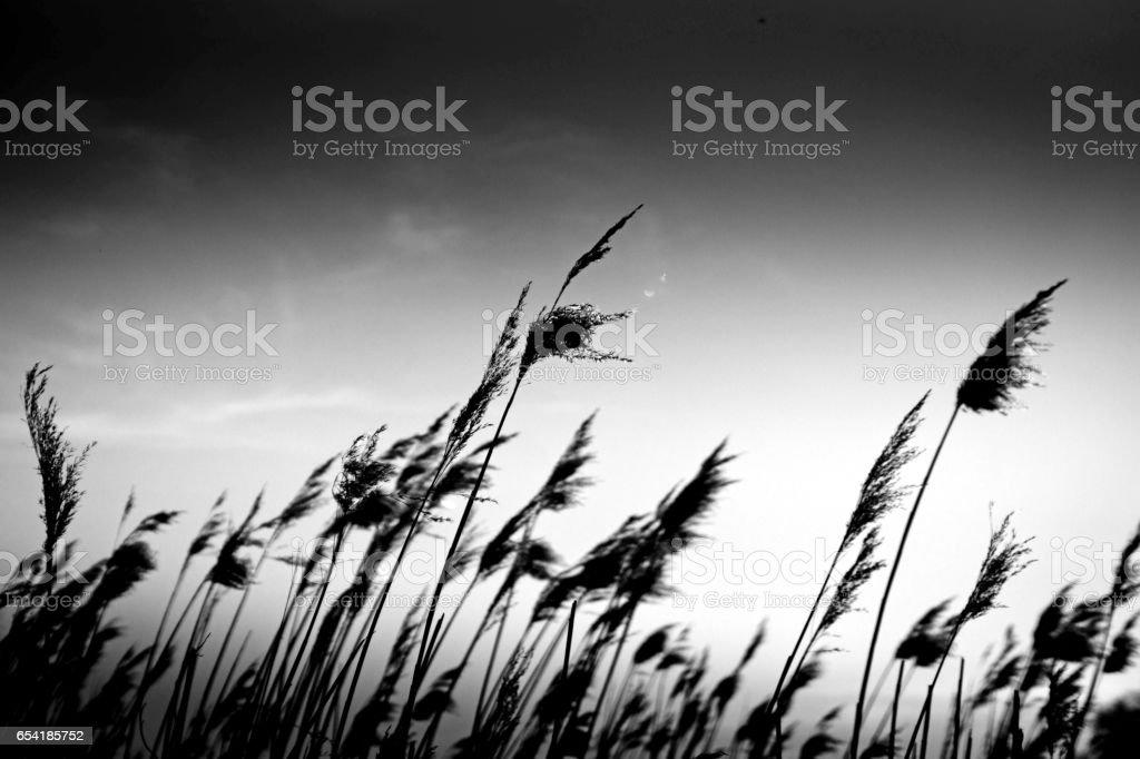 Reeds background stock photo