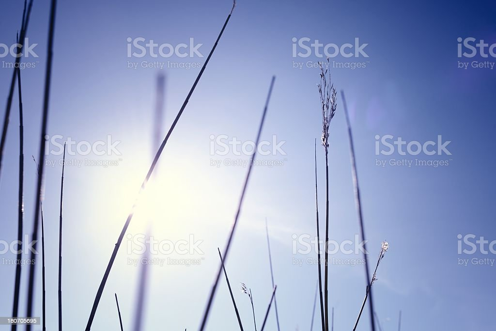 Reeds Backlit by Low Sun royalty-free stock photo