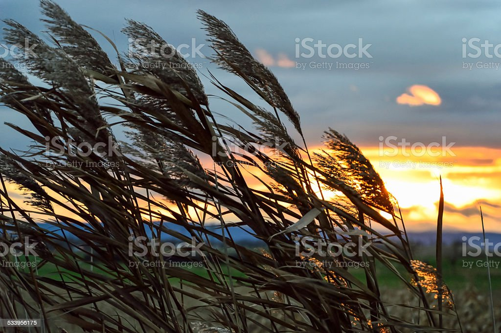 Reeds blowing in the wind stock photo