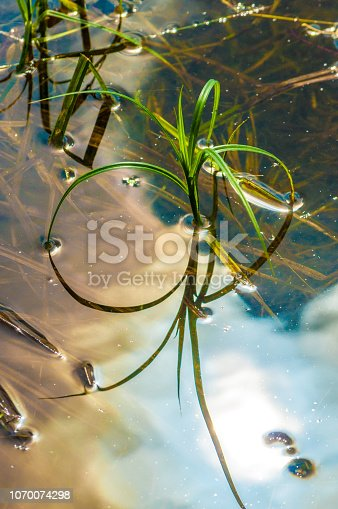 Reeds grass with reflection in a pond
