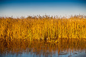 istock Reeds Growing in the Danube Delta 680960152