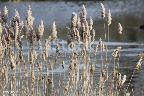 Reeds have a colourless aspect at this winter time of year.