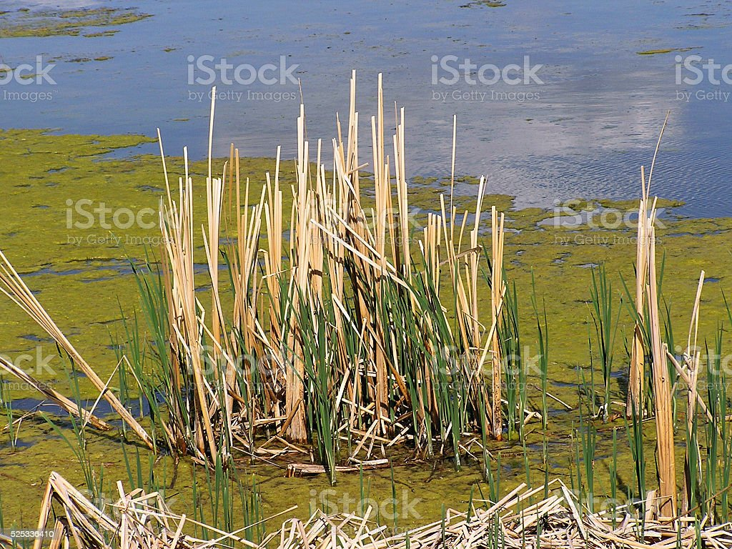 Reeds in Blue-green algae stock photo