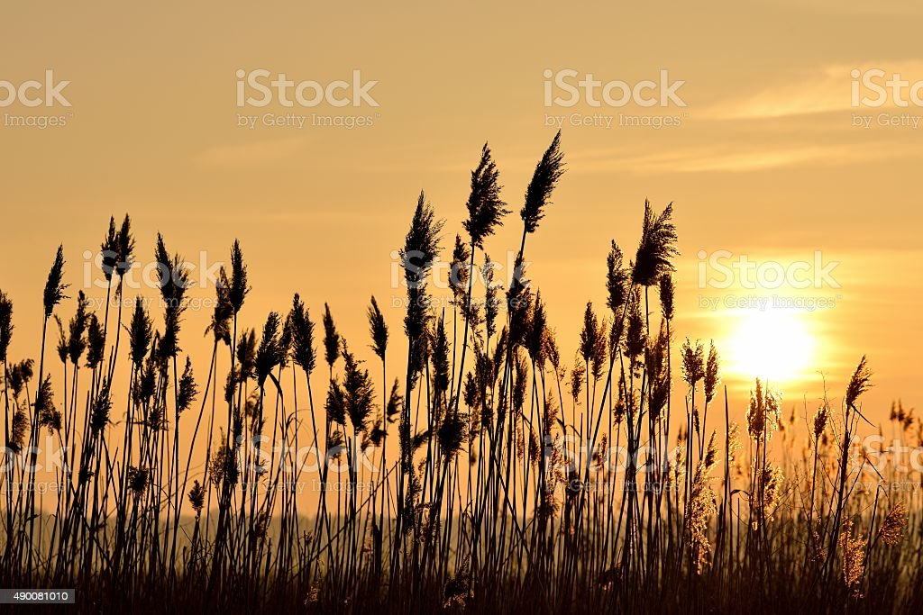 Reeds in evening light stock photo