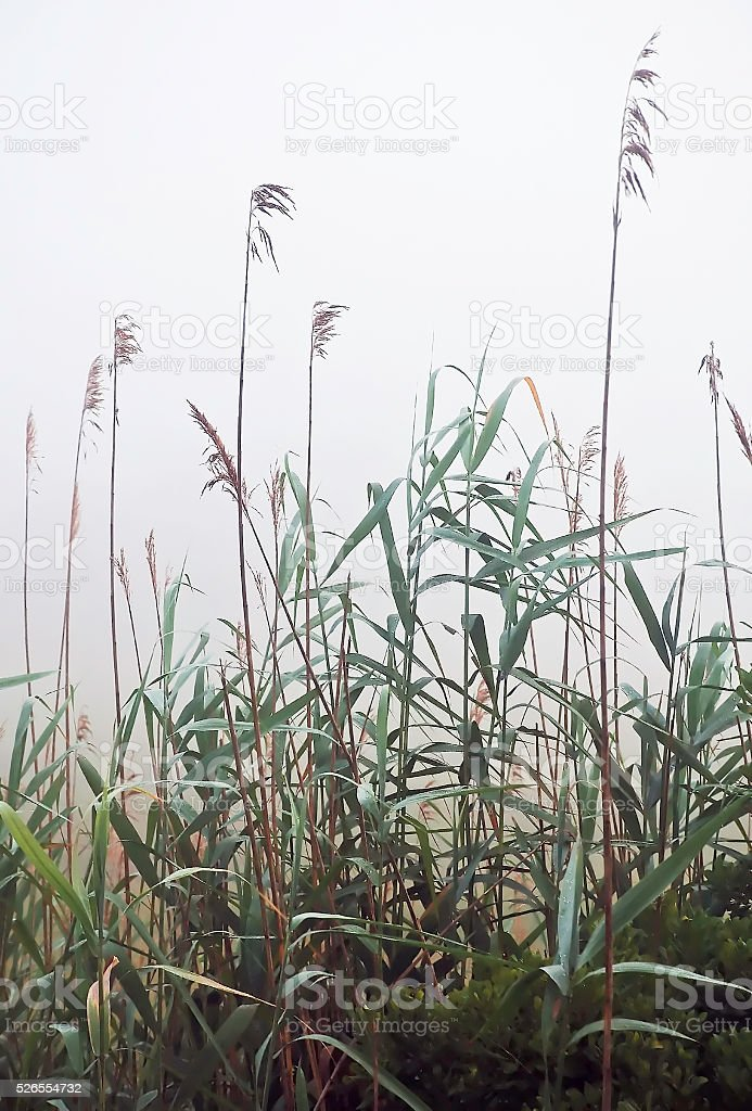 Reeds in fog stock photo