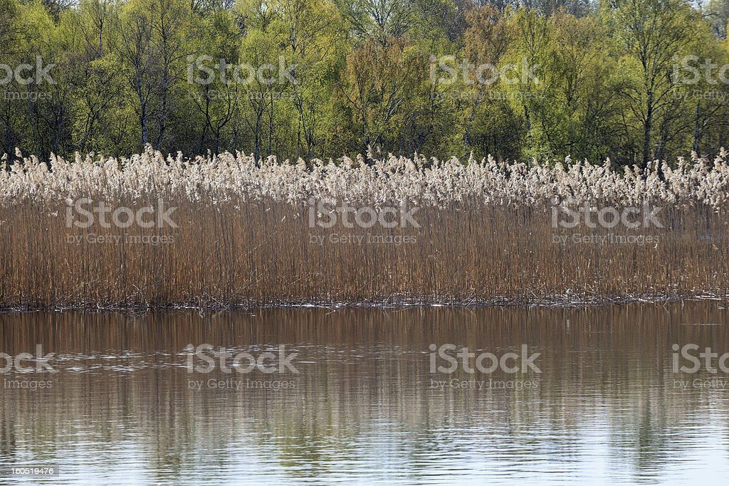 Reeds in the lake royalty-free stock photo