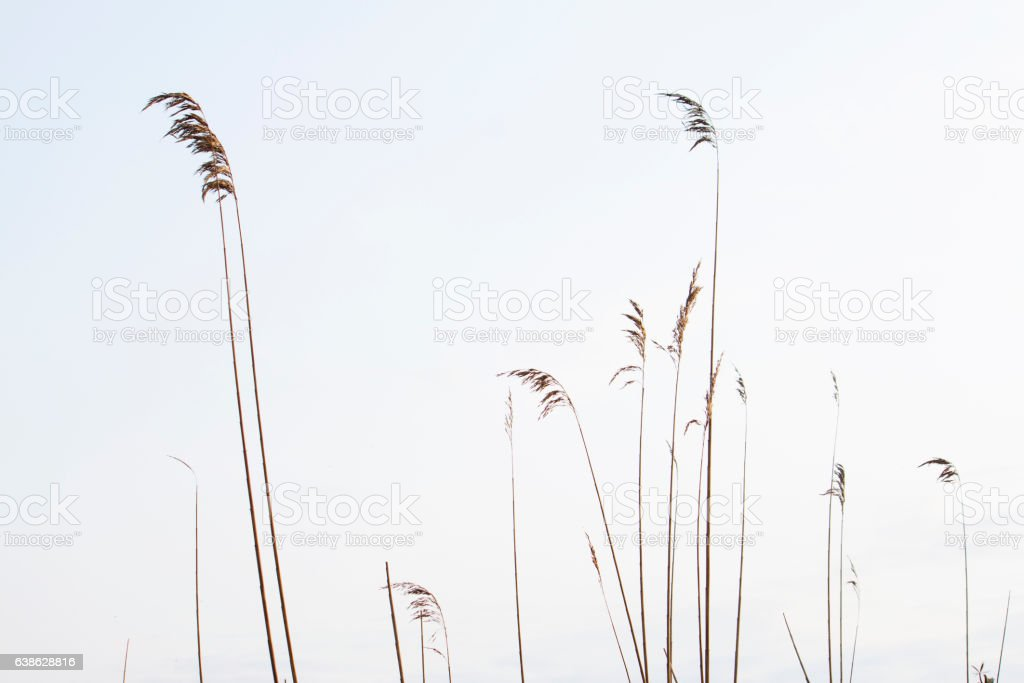 Reeds in the sky fund stock photo