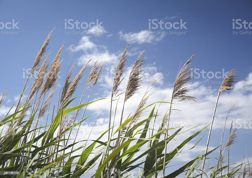 Reeds In The Wind royalty-free stock photo