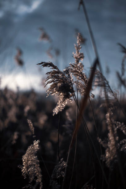Reeds in the winter stock photo