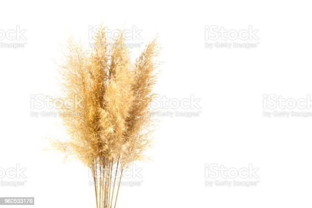 Foto de Reeds Isolada No Branco e mais fotos de stock de Alto - Descrição Geral