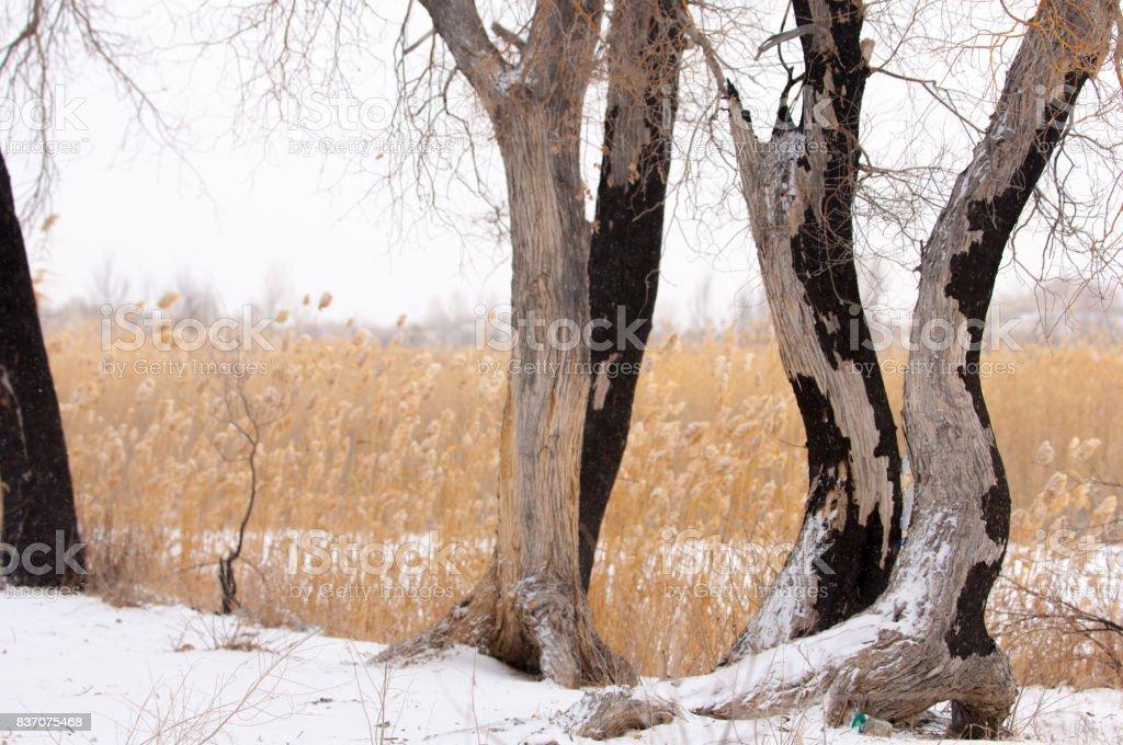 Reeds on a frozen lake, the steppe. the river or Kazakhstan. Kapchagai Bakanas stock photo