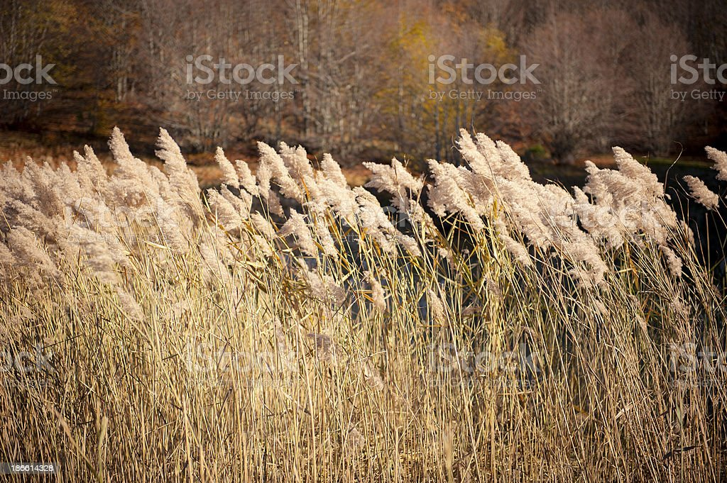 Reeds on a Pond Blown by the Wind stock photo