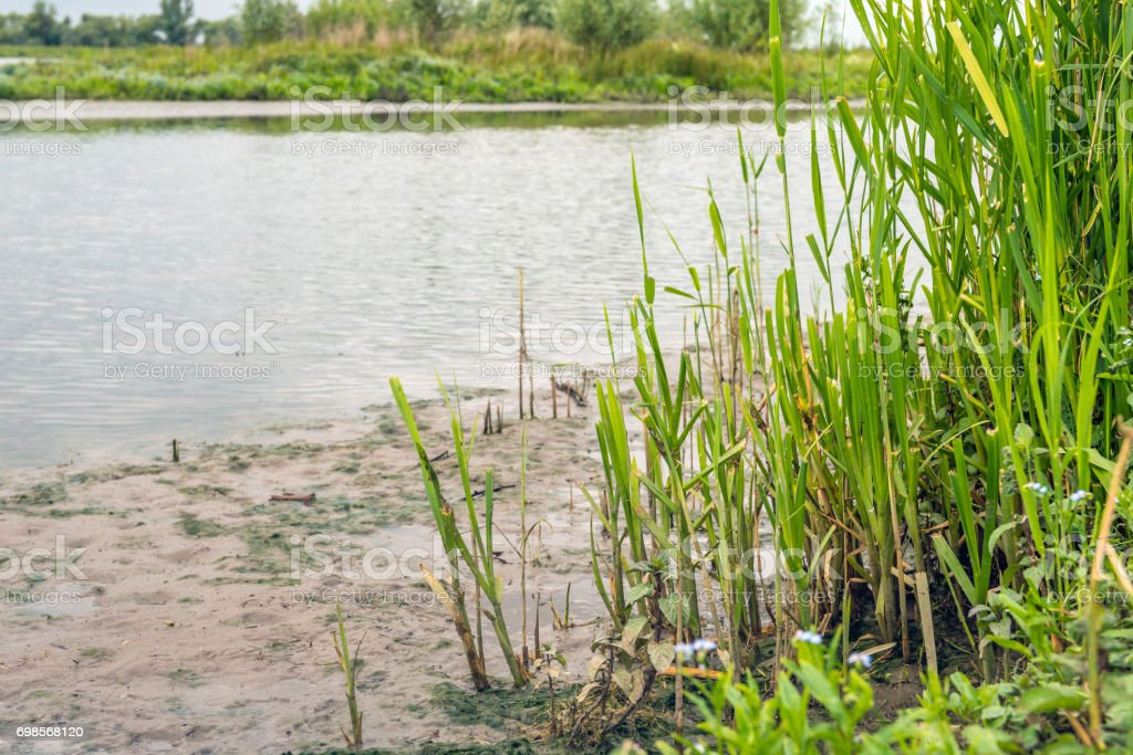 Reeds on the bank of a creek in a Dutch nature reserve stock photo