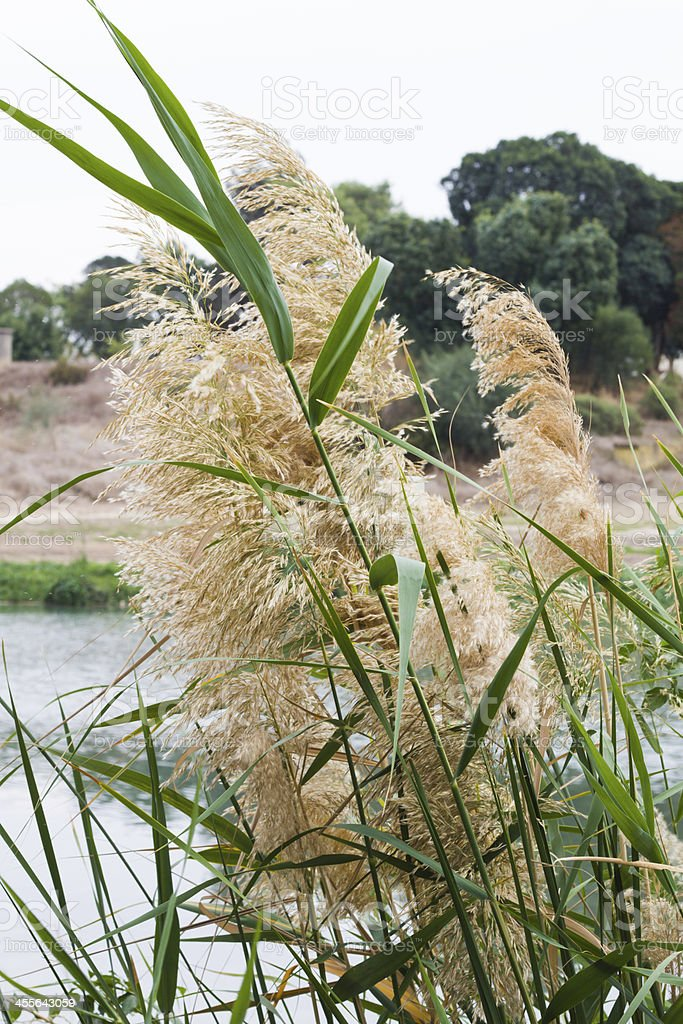 Reeds on the lake. royalty-free stock photo