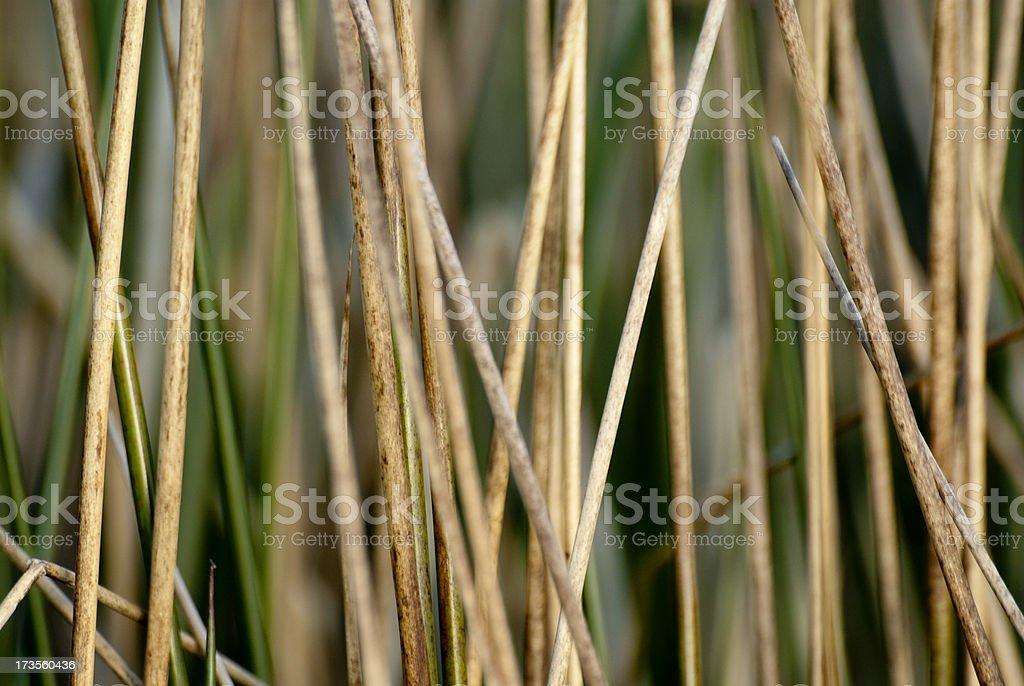 reeds royalty-free stock photo