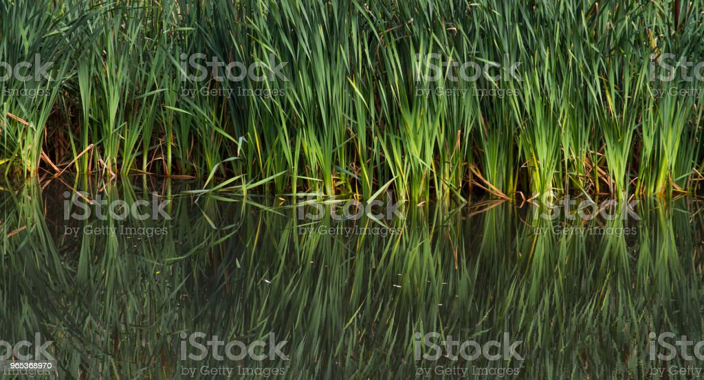 Reeds reflected in a lake stock photo