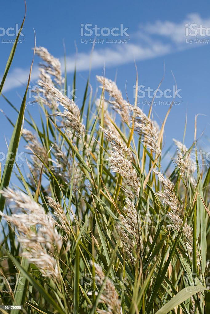 Reeds shaked 풍력 - 로열티 프리 0명 스톡 사진