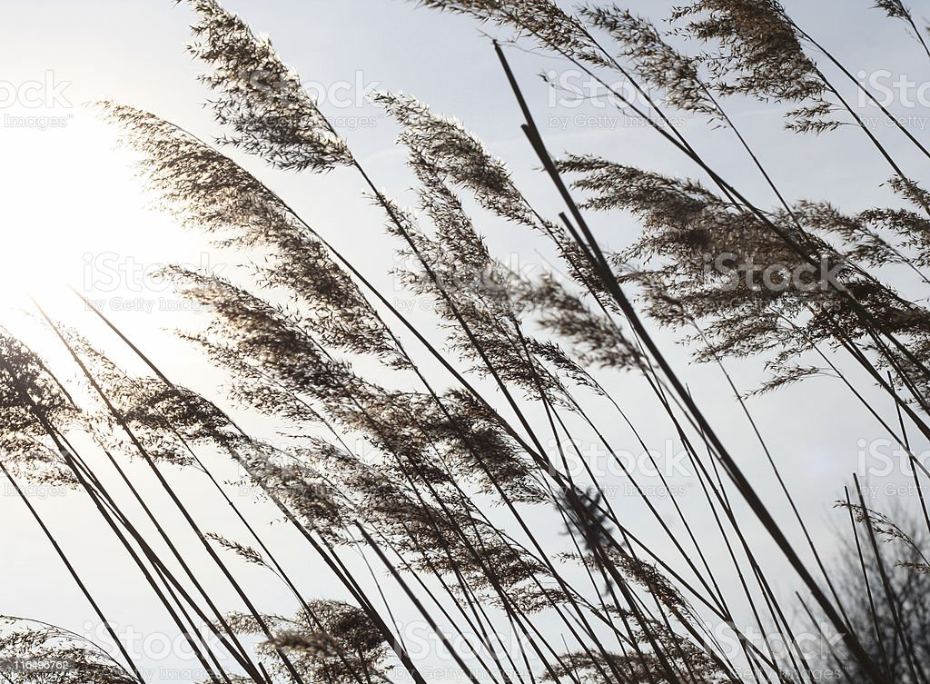 reeds swayed by the wind stock photo