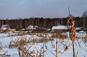 Reeds to a frozen pond near the village. Wooden houses near the lake in the snow. Marshland