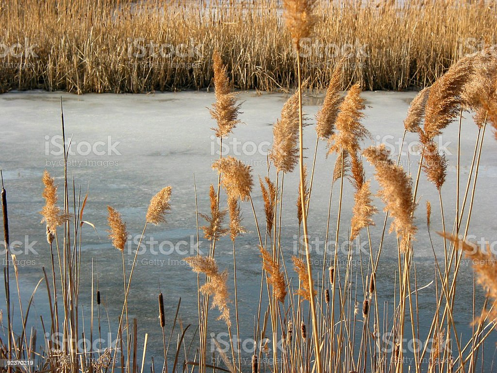 Reeds winter pond royalty-free stock photo