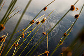 Reeds / water plant / straws with spiders web in the water on the lake / river on sunny morning / evening in summer / spring
