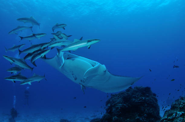 Reef Manta Ray and Cobia, Lady Elliot Island, Great Barrier Reef, Australia