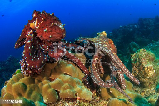 Two Octopus mating on coral reef