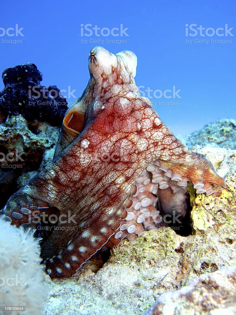 Reef octopus royalty-free stock photo