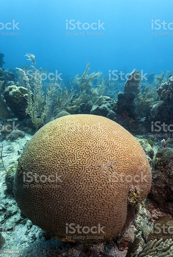 reef scene brain coral stock photo