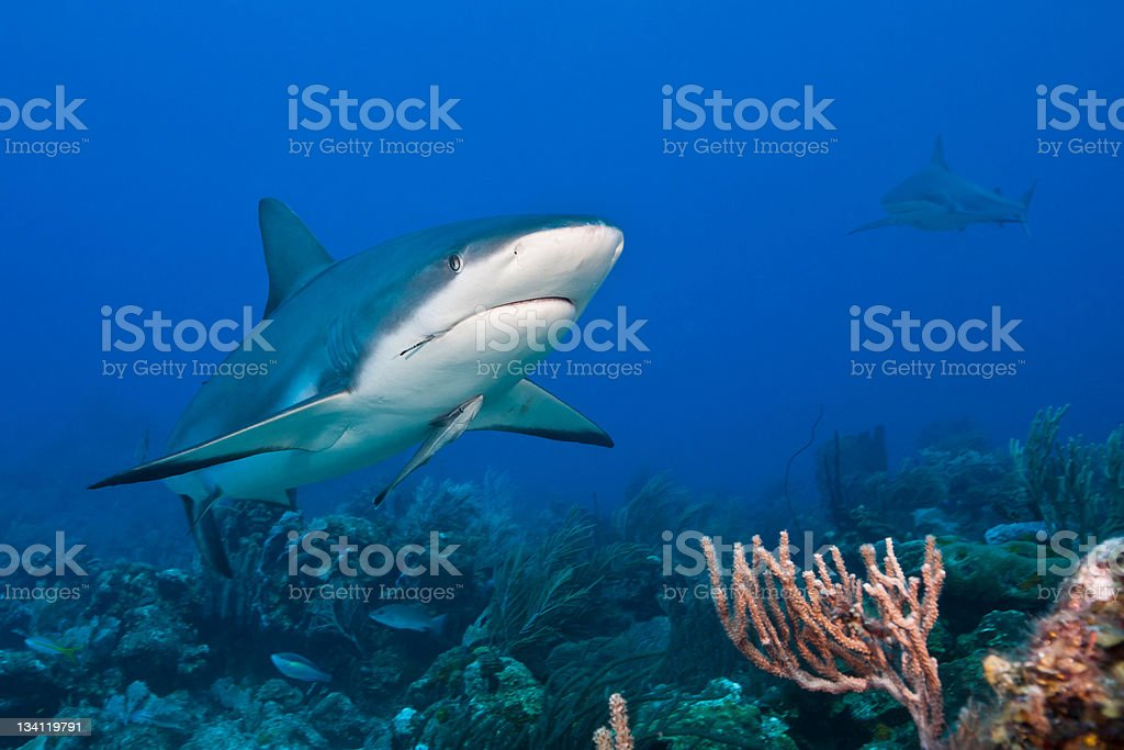 Reef Shark and attached whitefin sharksucker stock photo