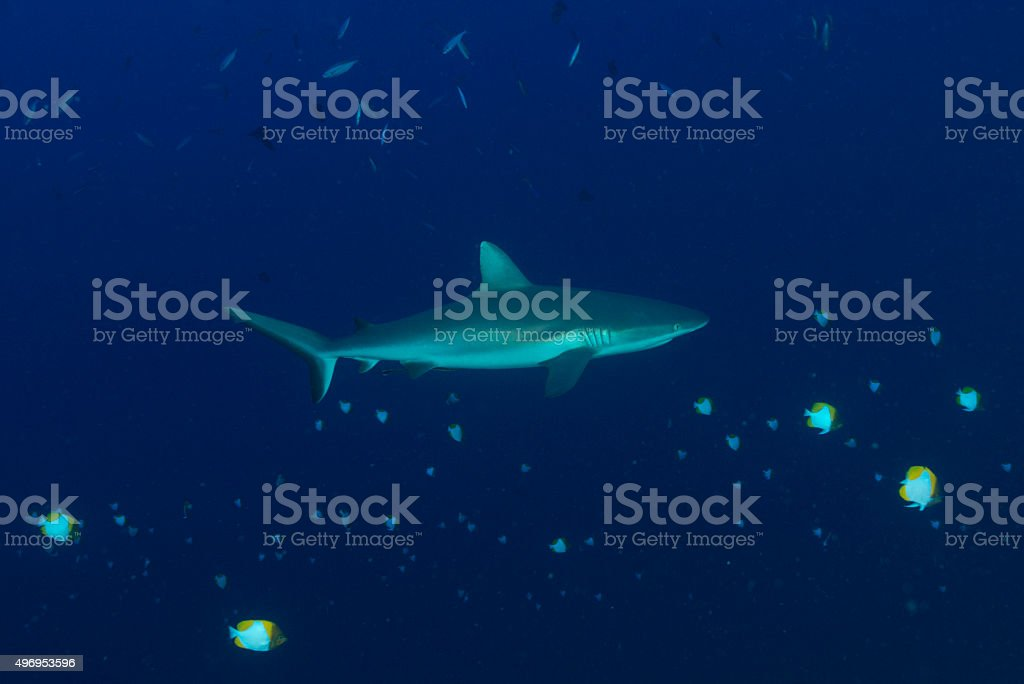 Reef Shark - Palau, Micronesia stock photo