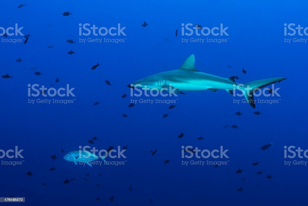 Reef Shark patrolling the reef stock photo