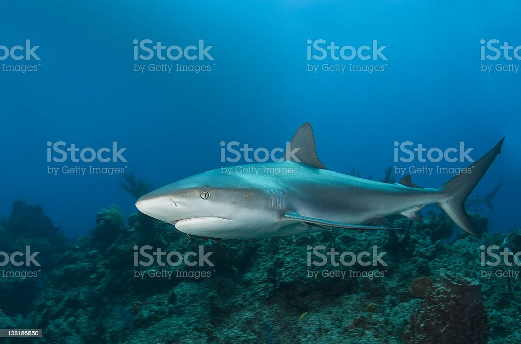 Reef Shark Profile royalty-free stock photo
