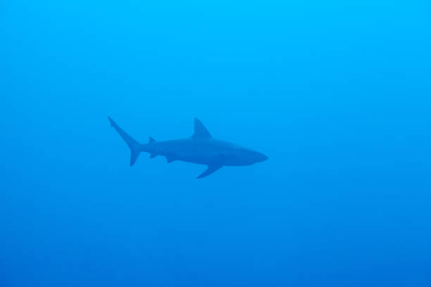 Reef shark. Sipadan island. Celebes sea. Malaysia. stock photo