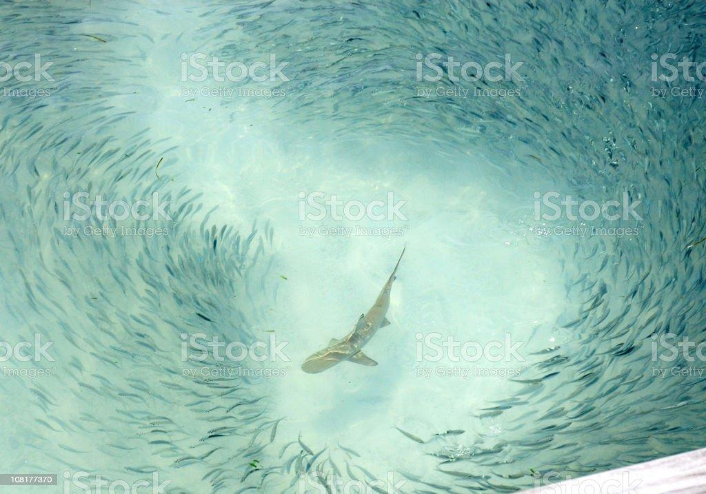 Reef Shark Swimming Around School of Fish stock photo