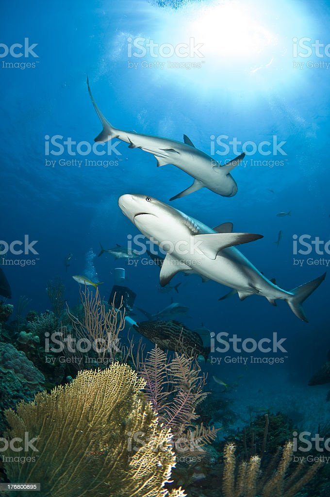 Reef Sharks stock photo
