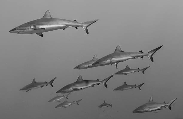 Reef Sharks stock photo