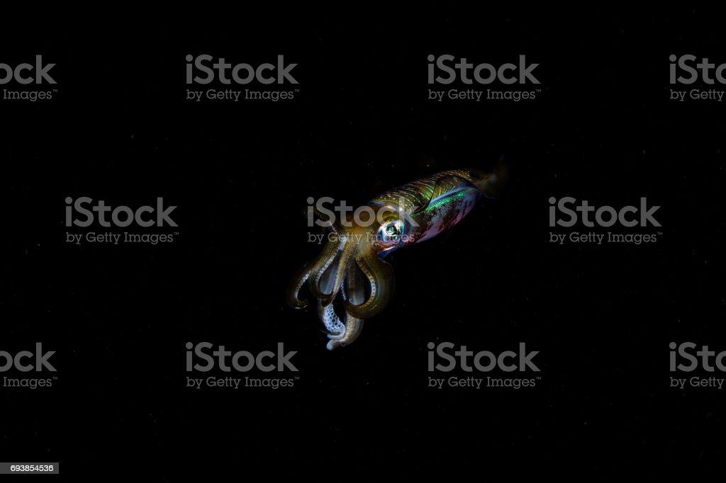 Reef Squid at Night stock photo
