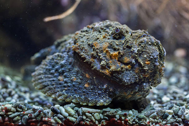 Reef stonefish (Synanceia verrucosa). Reef stonefish (Synanceia verrucosa), also known as the stonefish. Wildlife animal. indo pacific ocean stock pictures, royalty-free photos & images