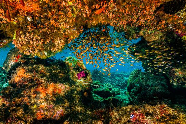 Reef Window with Swallowtail Cardinalfishes Verulux cypselurus, Komodo National Park, Indonesia stock photo
