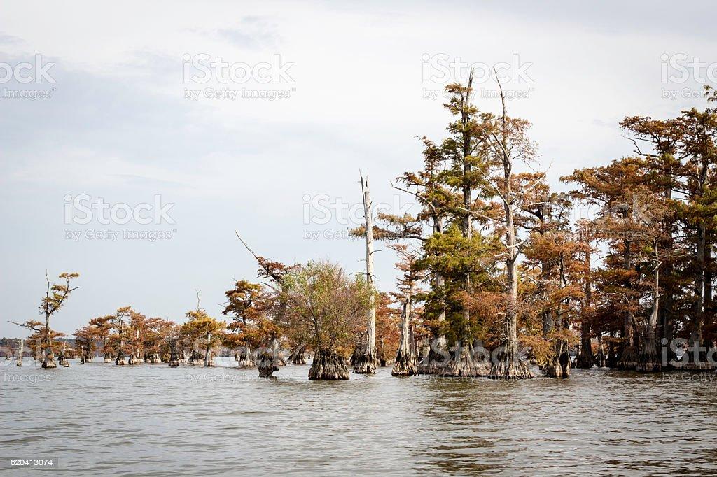 Reelfoot Lake Cypress stock photo