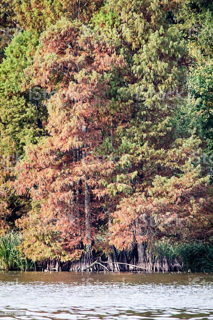 Reelfoot Lake Cypress Trees stock photo