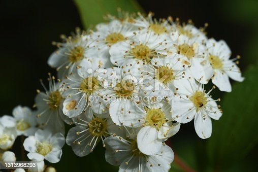 Reeves spirea (Spiraea cantoniensis) flowers. Rosaceae deciduous shrub.