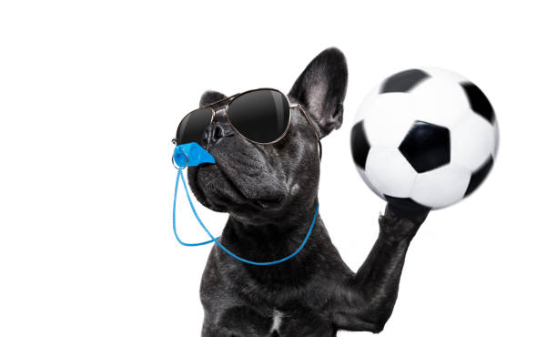 Referee dog with whistle picture id855401300?b=1&k=6&m=855401300&s=612x612&w=0&h=p1pxdxmeb898 2npbe7ecv1bwispiimway oqsu7 zm=